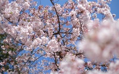 Kwitnienie wiśni w Japonii – kiedy się wybrać?